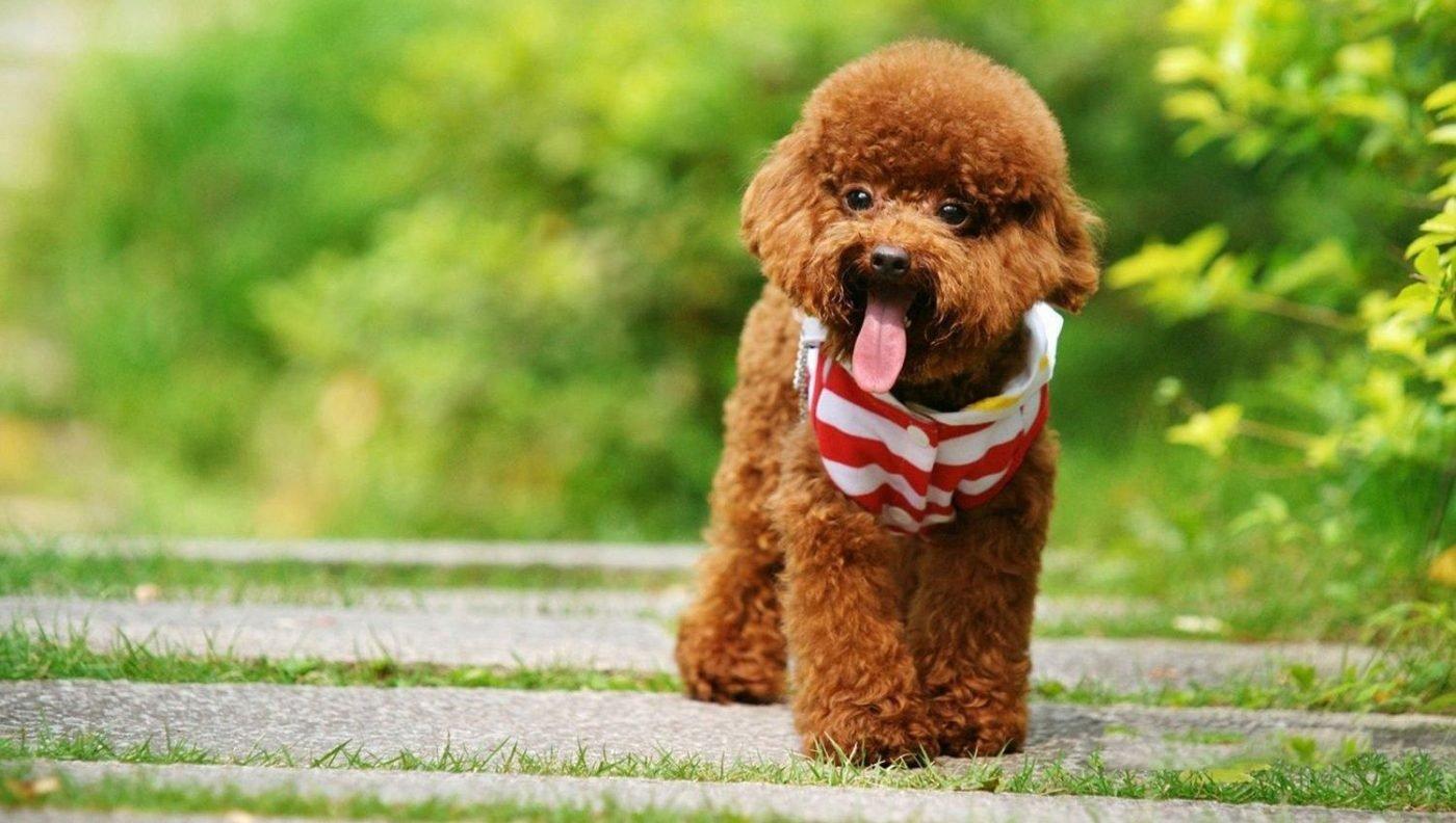 huan luyen cho poodle