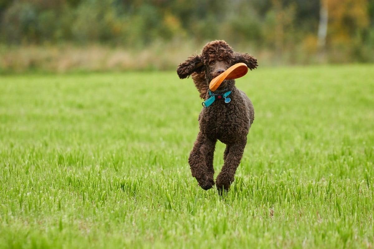trung tam huan luyen cho poodle