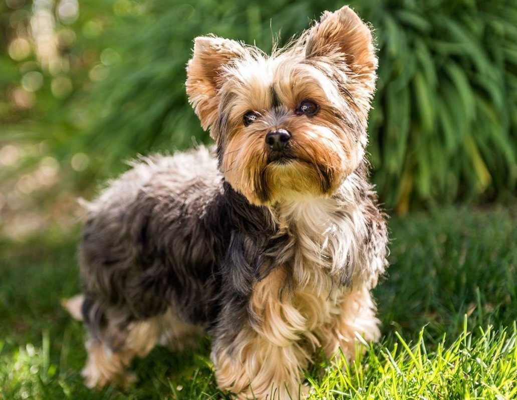 huan luyen cho yorkshire terrier