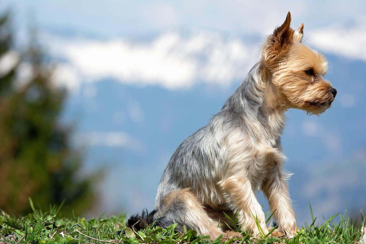 cac benh o cho yorkshire terrier
