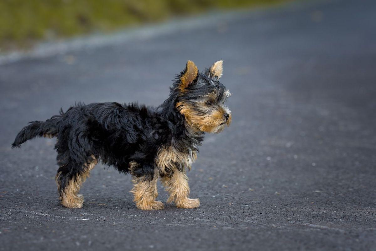 cham soc cho yorkshire terrier