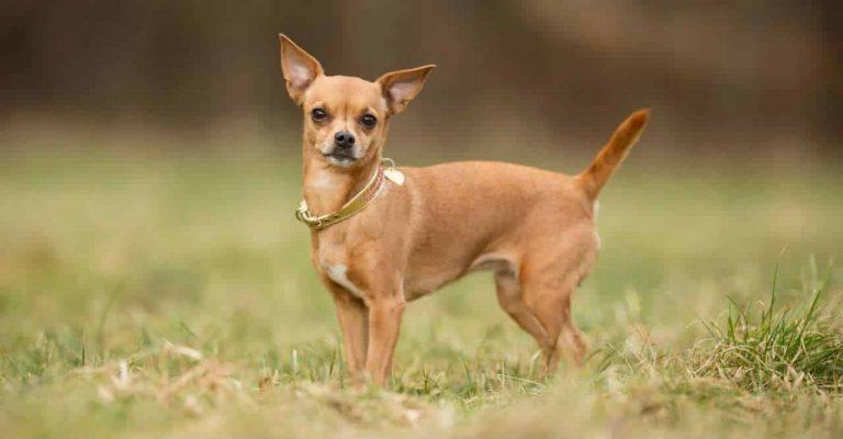 huan luyen cho Chihuahua