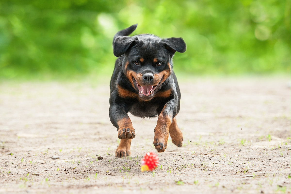 cac giong cho rottweiler