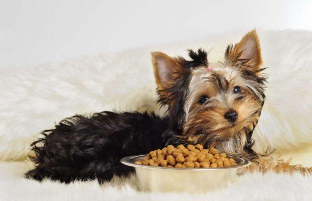 thuc an cho yorkshire terrier