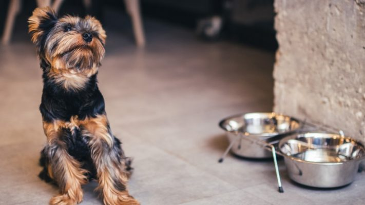 tuoi-tho-cho-yorkshire-terrier