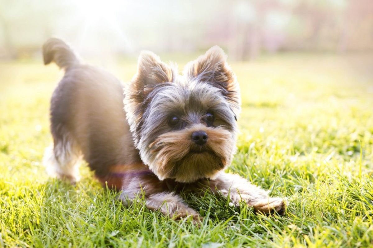 cho yorkshire terrier