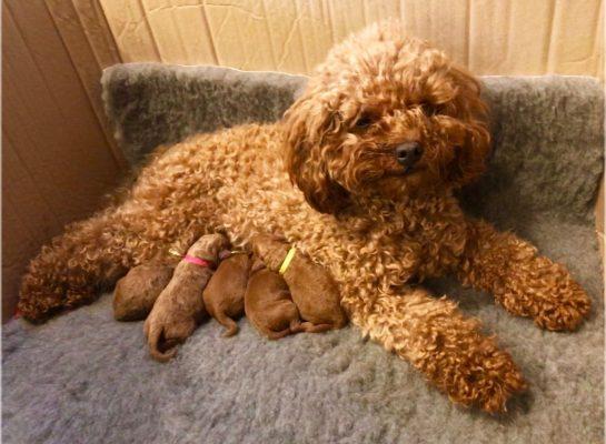 cham soc cho poodle mang thai