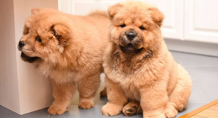 nuoi-cho-chow-chow