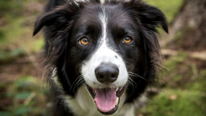 cho border collie
