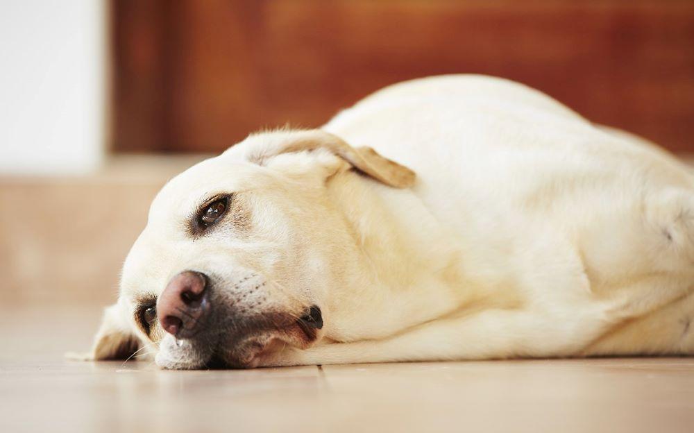 Chó Labrador bị bệnh