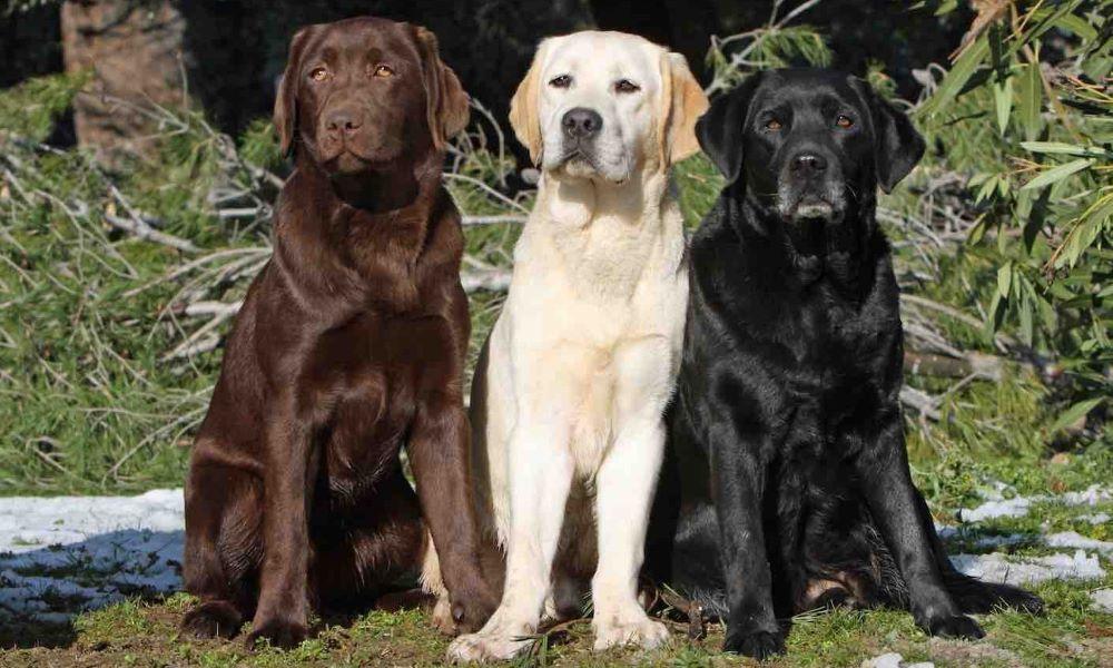 3 màu lông chó Labrador Retriever