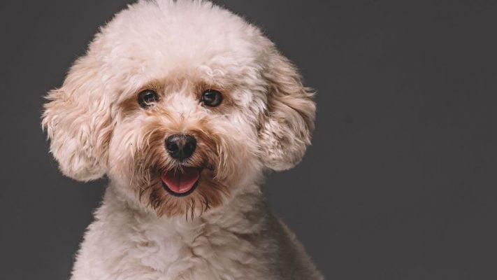 9 cách huấn luyện chó poodle