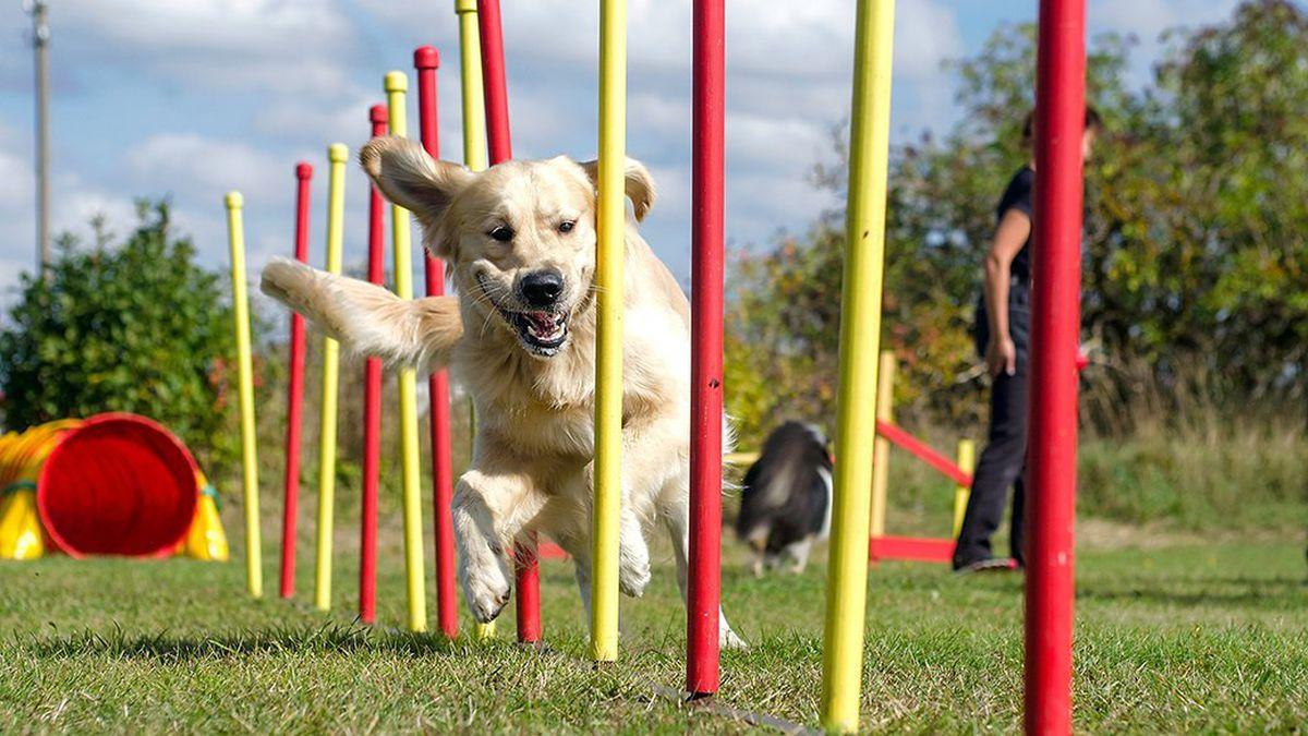 cách huấn luyện chó chạy zic zac