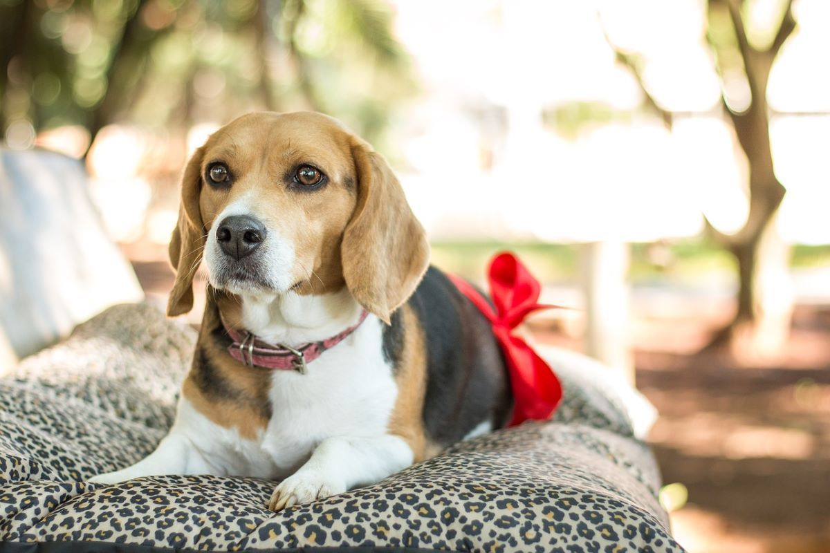 chăm sóc chó beagle mang thai