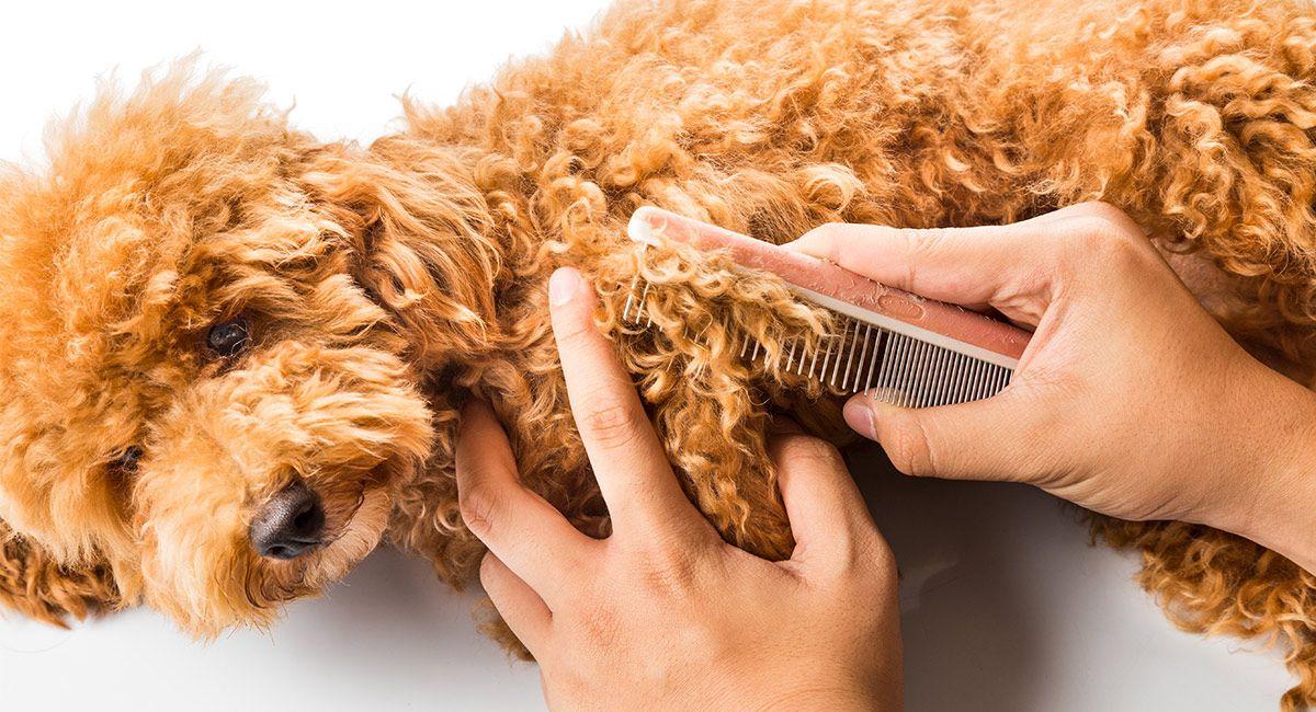 chăm sóc lông chó poodle
