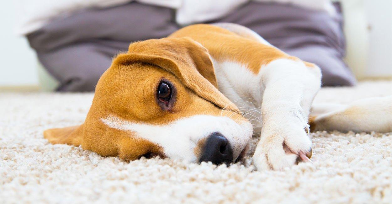 các bệnh ở chó beagle