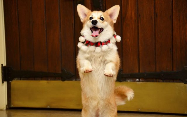 huấn luyện chó đi bằng hai chân