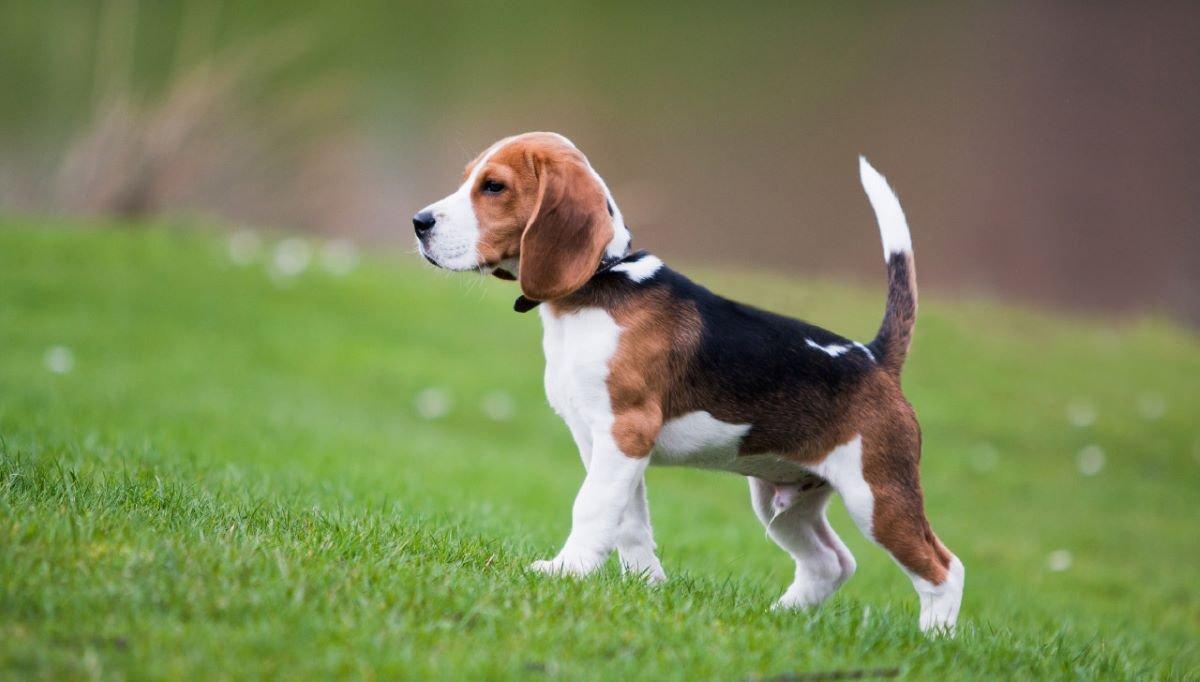 giá bán chó beagle